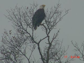 Panama City townhome photo - You get an American Bald Eagle for your neighbor..