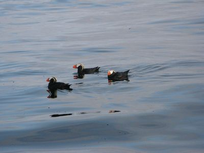 Sitka apartment rental - Puffins hanging out
