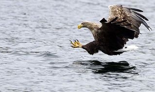 Oban, Isle of Mull & Lorn cottage photo - SEA EAGLE ON MULL