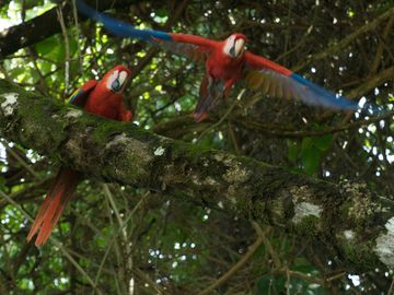 Watch scarlet macaws from your condo