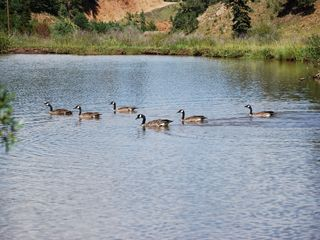 Woodland Park house photo - Beautiful Trout Ponds attract lots of Geese, Duck and other local Wild Life.