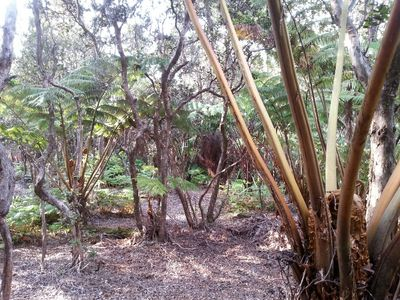 Stroll through the backyard and enjoy the Hapuu Tree Ferns and Ohia Trees.