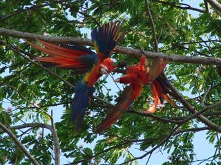 Jaco house photo - Scarlet Macaws playing in our trees