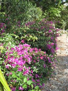 Bougainvillea - tropical flowers line the drive and fill the back garden