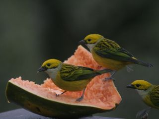 Volcano Arenal house photo - Silver Throated Tanagers on the deck