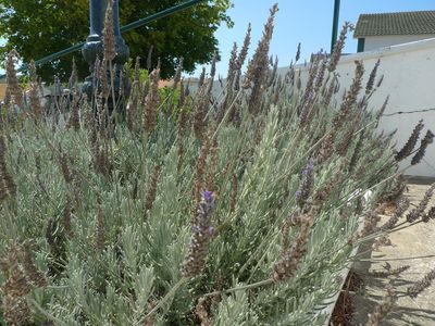 Lavender in a flowerbed of Santo Isidoro