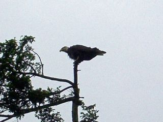 Camano Island house photo - Eagles Perching in the Trees Right Out Your Window