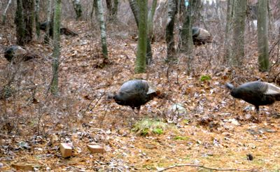 Not 1 but 5 wild turkeys show up at the house just 2 days before Thanksgiving!