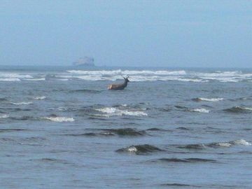 Elk in surf crossing the Moclips river, thats Point Grenville in the back ground