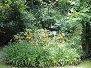 Black Mountain cabin photo - Our lily patch is beautiful!