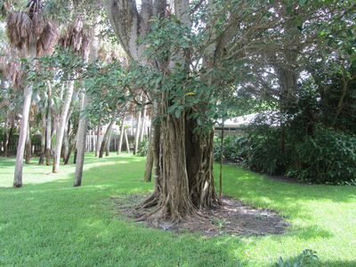Old Florida Banyan trees