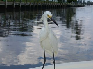 Little Gasparilla Island cottage photo - Frequent visitor to dock!