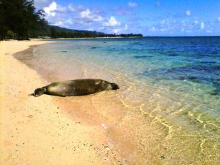 Kaaawa house photo - The endagered Monk Seals are frequent North Shore Visitors