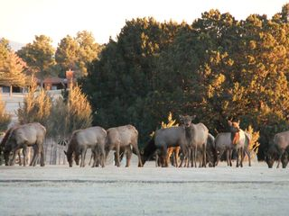 Ruidoso chalet photo - Alto Golf Course - Hole #2...(Herd of young elk)