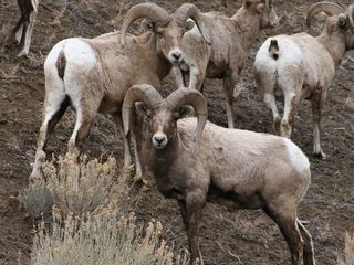 Cody cabin photo - Big Horn Sheep just outside of Cody.