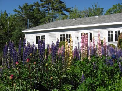 Southport cottage rental - Lupine in June in front of cottage