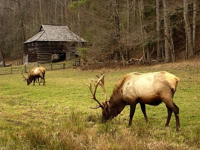 Visit the Elk at the Great Smokey Mountains National Park
