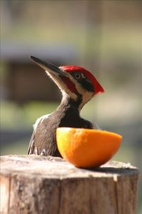 Pileated woodpecker comes for a taste of orange in early summer.