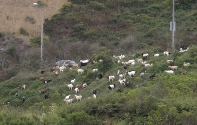 Goats at work in Glen Canyon Park, only 1 block from the rental