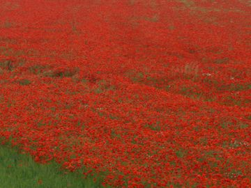 Nearby Field of Poppies