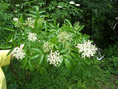 Elderberry bush in the spring.