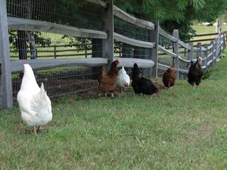 Ascutney farmhouse photo - Chickens