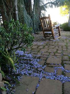 Wisteria blossoms on east patio.