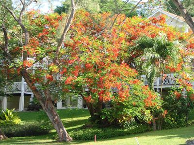 A 'Flame Tree' in the grounds of Rockley.