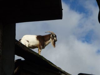 Parksville house photo - The goats on the roof at the Coombs market
