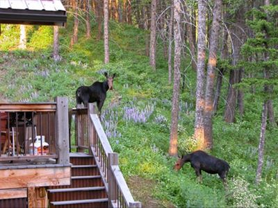 Livingston cabin rental - Mama and baby moose behind Blue Moon Cabin in July