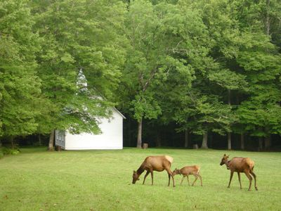 Elks at nereby Cataloochee Valley