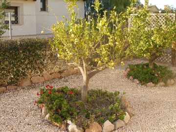 Lemon trees in garden