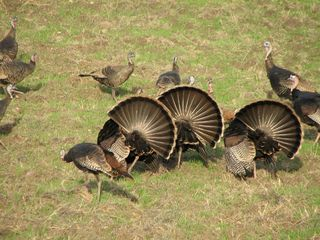 San Jose apartment photo - Wild turkeys at Mystic Mountain