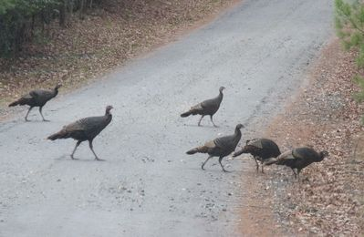 Wild Turkeys Crossing our Road
