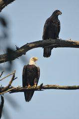 Unity cottage photo - Bald Eagle and Juvenile in tree on our property