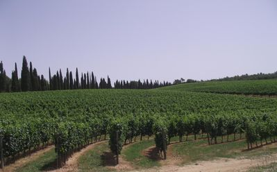Vineyards in Arceno Estate