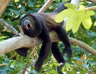 Playa Potrero cottage photo - Local howler monkeys, they sometimes are beside the cabina.