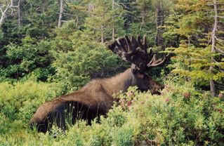 Milan cabin photo - Moose are common in the Great North Woods. Go on a tour. (603 449 2236)