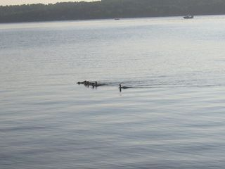 Lake Winnisquam cabin photo - Loons on Winnisquam