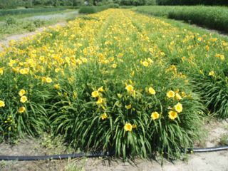 Tyaskin house photo - The farm - Daylillies in the Spring