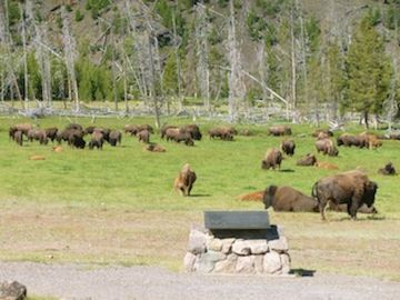 Bison at Yellowstone National Park, Summer 2012