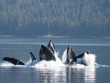 Pod of whales in Prince William Sound (Whittier) just 10 minutes away