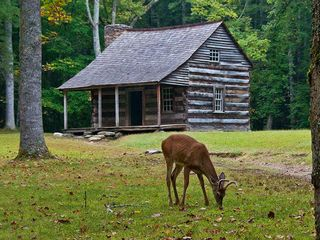 Pigeon Forge cabin photo - A deer grazing on the lawn of the first cabin built at Cades Cove in the Park.