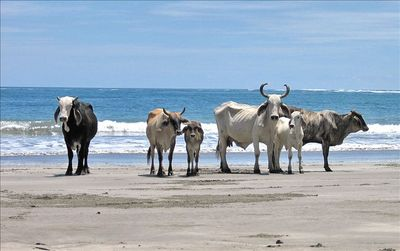 Cows on Carrillo Beach