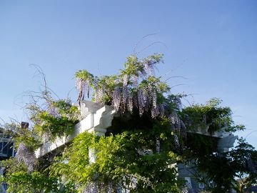 Wisteria blooming at the beachhouse