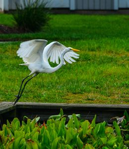 Egret taking off from bulkhead