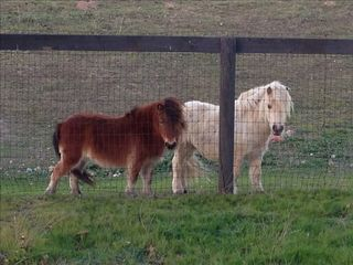 Paso Robles barn photo - Mini horses out your back door! Western Guest Cottage