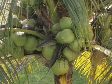 Full load of coconuts from our palm tree. Serve yourself.