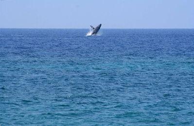 Whale playing directly in front of our lanai (photo taken from lanai)