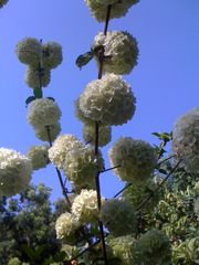 Pasadena studio photo - Snowball tree.